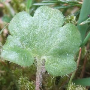 Photographie n°744456 du taxon Saxifraga granulata L.