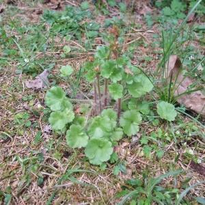 Photographie n°744458 du taxon Saxifraga granulata L.