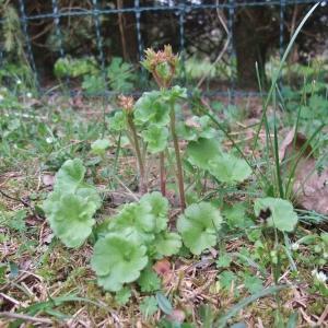 Photographie n°744459 du taxon Saxifraga granulata L.