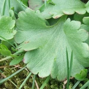 Photographie n°744461 du taxon Saxifraga granulata L.