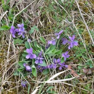 Photographie n°744473 du taxon Viola hirta L. [1753]