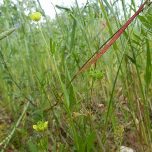 Photographie n°744504 du taxon Ranunculus arvensis L. [1753]