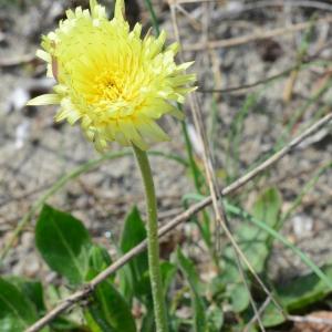 Photographie n°744899 du taxon Urospermum dalechampii (L.) Scop. ex F.W.Schmidt [1795]