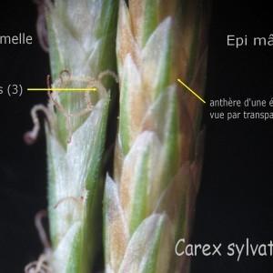 Carex sylvatica Huds. [1762] (Laiche des bois)