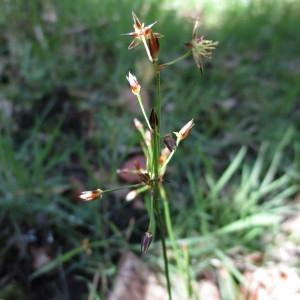 Photographie n°745292 du taxon Luzula forsteri (Sm.) DC.