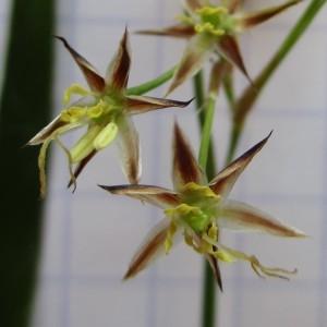 Photographie n°745295 du taxon Luzula forsteri (Sm.) DC.