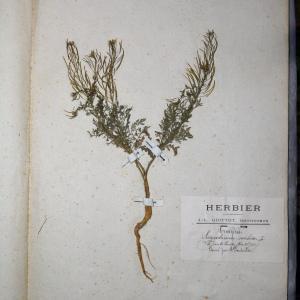 Photographie n°745375 du taxon Sisymbrium sophia L. [1753]