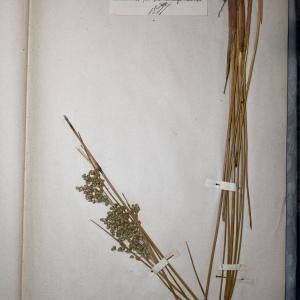 Photographie n°745590 du taxon Juncus maritimus Lam.