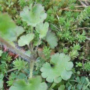 Photographie n°745886 du taxon Saxifraga granulata L.
