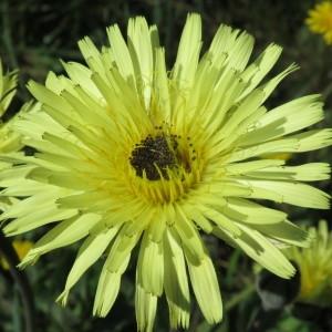 Photographie n°746079 du taxon Urospermum dalechampii (L.) Scop. ex F.W.Schmidt [1795]