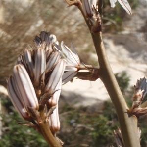 Photographie n°746148 du taxon Asphodelus ramosus L. [1753]