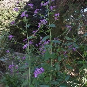 Photographie n°746532 du taxon Lunaria annua L.