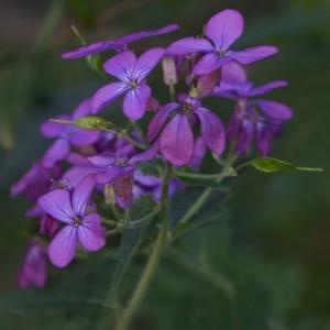 Photographie n°746533 du taxon Lunaria annua L.