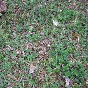 Photographie n°746785 du taxon Carex flacca Schreb. [1771]