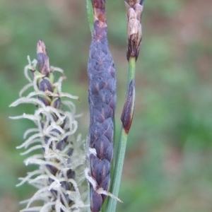 Photographie n°746788 du taxon Carex flacca Schreb. [1771]