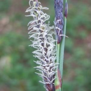 Photographie n°746789 du taxon Carex flacca Schreb. [1771]