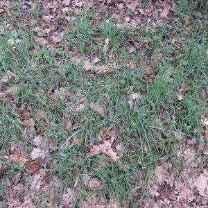 Photographie n°746793 du taxon Carex flacca Schreb. [1771]