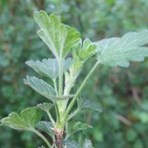 Photographie n°746891 du taxon Ribes uva-crispa L. [1753]