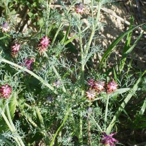 Photographie n°747510 du taxon Platycapnos spicata (L.) Bernh.