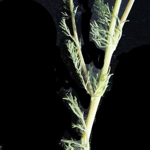 Photographie n°747513 du taxon Platycapnos spicata (L.) Bernh.