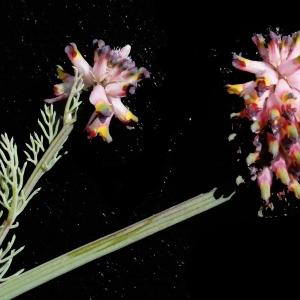 Photographie n°747514 du taxon Platycapnos spicata (L.) Bernh.