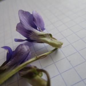 Photographie n°747624 du taxon Viola riviniana Rchb.