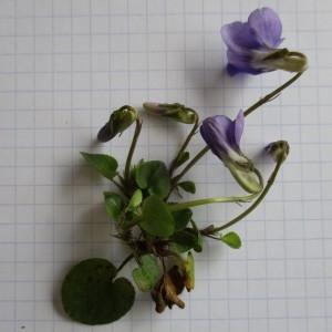 Photographie n°747626 du taxon Viola riviniana Rchb.