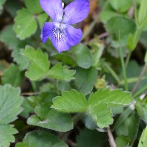 Photographie n°747719 du taxon Viola riviniana Rchb.