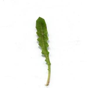 Photographie n°747883 du taxon Crepis sancta (L.) Bornm. [1913]
