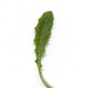 Photographie n°747884 du taxon Crepis sancta (L.) Bornm. [1913]