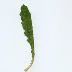 Photographie n°747885 du taxon Crepis sancta (L.) Bornm. [1913]