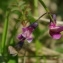 Olivier POUVREAU - Lathyrus linifolius f. linifolius