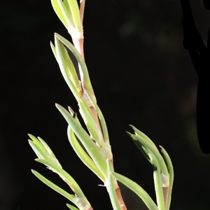 Photographie n°748204 du taxon Spergularia media (L.) C.Presl [1826]