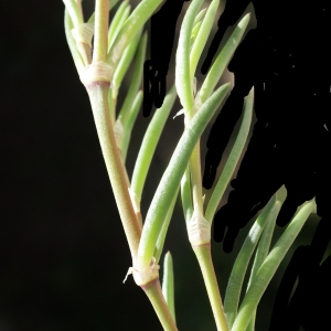 Photographie n°748212 du taxon Spergularia media (L.) C.Presl [1826]