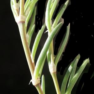 Photographie n°748213 du taxon Spergularia media (L.) C.Presl [1826]