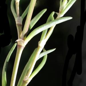 Photographie n°748215 du taxon Spergularia media (L.) C.Presl [1826]