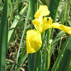 Photographie n°748332 du taxon Iris pseudacorus L. [1753]