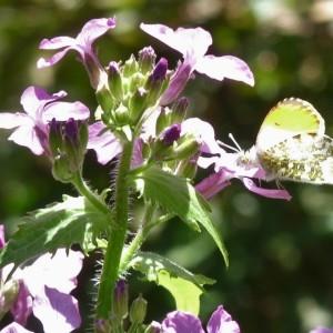 Photographie n°748682 du taxon Lunaria annua L.