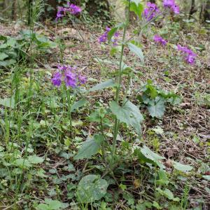 Photographie n°748844 du taxon Lunaria annua L.