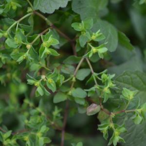 Photographie n°748887 du taxon Euphorbe des jardins