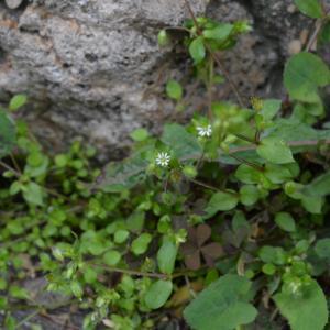 Photographie n°748910 du taxon Stellaire intermédiaire