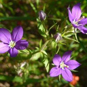 Photographie n°749019 du taxon Legousia speculum-veneris (L.) Chaix