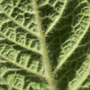 Photographie n°749187 du taxon Verbascum thapsus L.