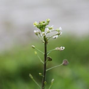 Photographie n°749402 du taxon Capsella bursa-pastoris (L.) Medik.