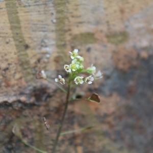 Photographie n°749405 du taxon Capsella bursa-pastoris (L.) Medik.