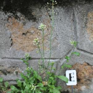 Photographie n°749406 du taxon Capsella bursa-pastoris (L.) Medik. [1792]