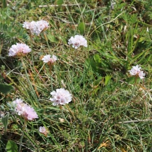 Photographie n°749866 du taxon Armeria maritima subsp. maritima