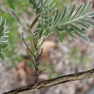 Photographie n°749875 du taxon Anthyllis barba-jovis L.