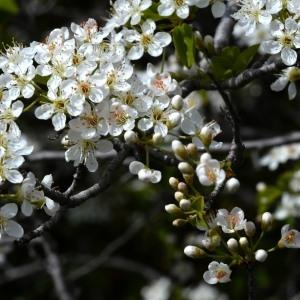 Photographie n°749891 du taxon Prunus mahaleb L.