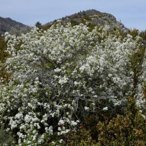 Photographie n°749893 du taxon Prunus mahaleb L.